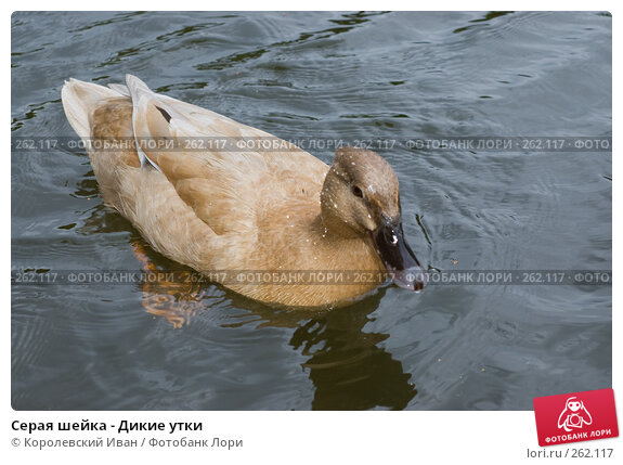 Купить «Серая шейка - Дикие утки», фото № 262117, снято 20 апреля 2008 г. (c) Королевский Иван / Фотобанк Лори