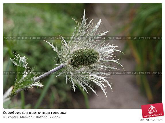 Серебристая цветочная головка, фото № 129173, снято 28 июля 2005 г. (c) Георгий Марков / Фотобанк Лори