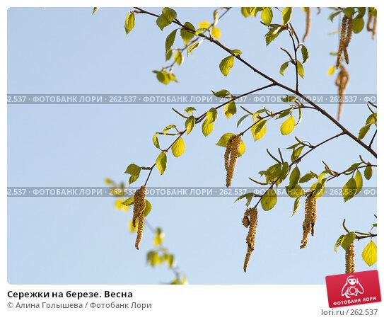 Сережки на березе. Весна, эксклюзивное фото № 262537, снято 25 апреля 2008 г. (c) Алина Голышева / Фотобанк Лори