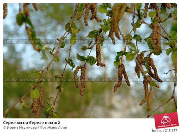 Купить «Сережки на березе весной», фото № 215157, снято 9 июня 2007 г. (c) Ирина Игумнова / Фотобанк Лори