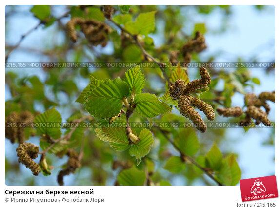 Сережки на березе весной, фото № 215165, снято 9 июня 2007 г. (c) Ирина Игумнова / Фотобанк Лори