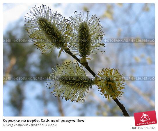 Сережки на вербе. Catkins of pussy-willow, фото № 130165, снято 7 мая 2005 г. (c) Serg Zastavkin / Фотобанк Лори