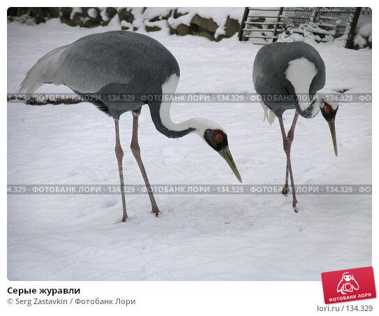 Купить «Серые журавли», фото № 134329, снято 7 ноября 2004 г. (c) Serg Zastavkin / Фотобанк Лори