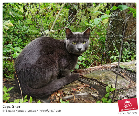 Серый кот, фото № 60369, снято 21 августа 2017 г. (c) Вадим Кондратенков / Фотобанк Лори
