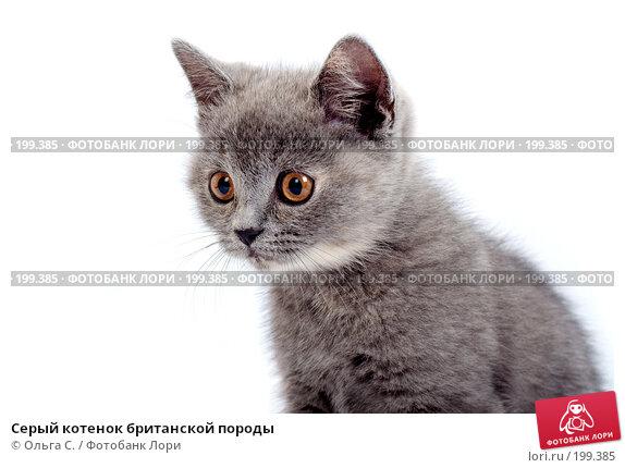 Серый котенок британской породы, фото № 199385, снято 29 мая 2007 г. (c) Ольга С. / Фотобанк Лори