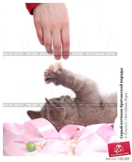 Серый котенок британской породы, фото № 199389, снято 29 мая 2007 г. (c) Ольга С. / Фотобанк Лори