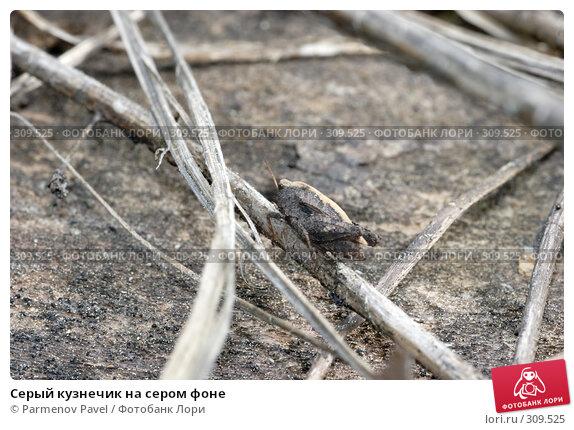 Серый кузнечик на сером фоне, фото № 309525, снято 24 марта 2017 г. (c) Parmenov Pavel / Фотобанк Лори