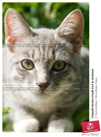 Серый полосатый кот в зелени, фото № 50621, снято 30 марта 2017 г. (c) SummeRain / Фотобанк Лори