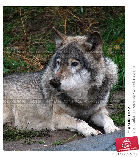 """""""Серый""""волк, фото № 102149, снято 8 декабря 2016 г. (c) Алембатров Алексей / Фотобанк Лори"""