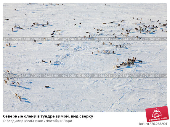 Северные олени в тундре зимой, вид сверху, фото № 26268901, снято 8 апреля 2017 г. (c) Владимир Мельников / Фотобанк Лори
