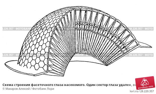 Купить «Схема строения фасеточного глаза насекомого. Один сектор глаза удален, видны фасетки на шаровидной поверхности глаза и взаимное расположение омматидиев», иллюстрация № 28220357 (c) Макаров Алексей / Фотобанк Лори