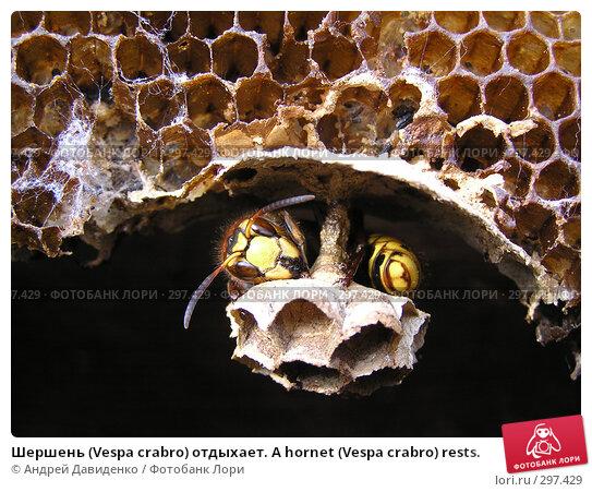 Шершень (Vespa crabro) отдыхает. A hornet (Vespa crabro) rests., фото № 297429, снято 18 мая 2008 г. (c) Андрей Давиденко / Фотобанк Лори