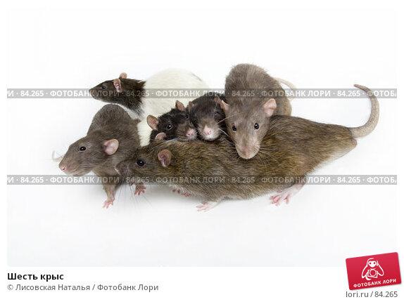 Шесть крыс, фото № 84265, снято 15 сентября 2007 г. (c) Лисовская Наталья / Фотобанк Лори