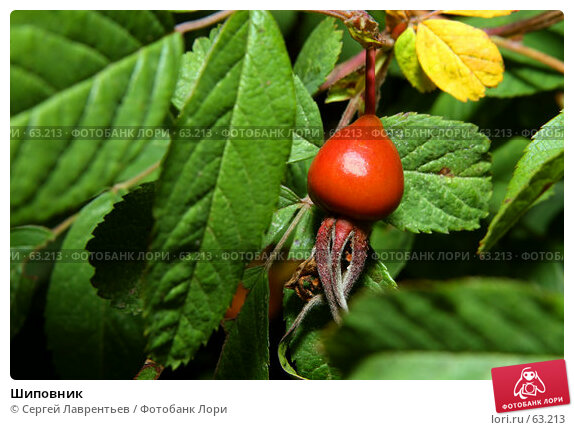 Шиповник, фото № 63213, снято 12 июля 2007 г. (c) Сергей Лаврентьев / Фотобанк Лори
