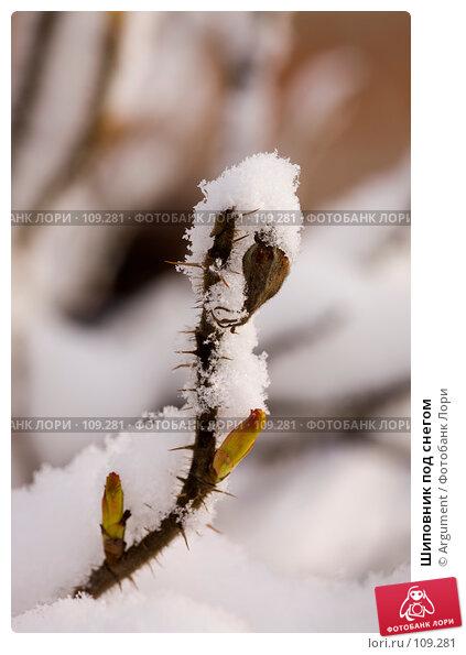 Шиповник под снегом, фото № 109281, снято 8 апреля 2007 г. (c) Argument / Фотобанк Лори