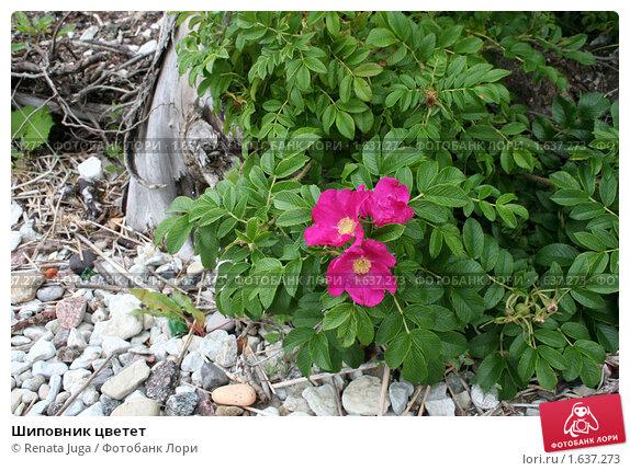 Шиповник цветет. Стоковое фото, фотограф Renata Juga / Фотобанк Лори