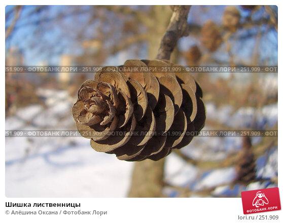 Шишка лиственницы, эксклюзивное фото № 251909, снято 21 февраля 2008 г. (c) Алёшина Оксана / Фотобанк Лори