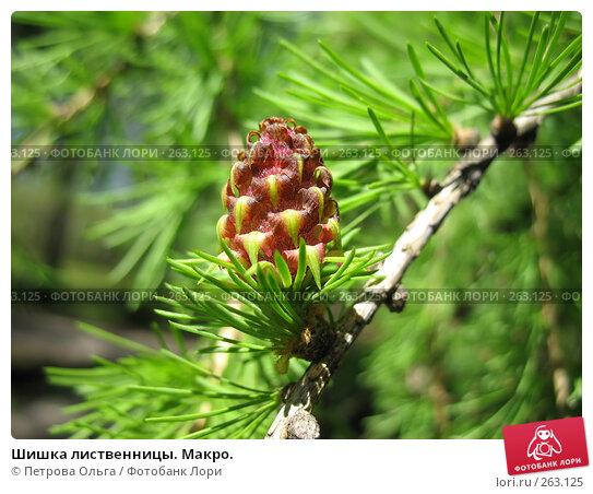 Шишка лиственницы. Макро., фото № 263125, снято 25 апреля 2008 г. (c) Петрова Ольга / Фотобанк Лори