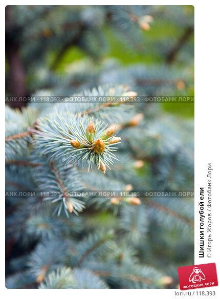 Купить «Шишки голубой ели», фото № 118393, снято 31 мая 2007 г. (c) Игорь Жоров / Фотобанк Лори