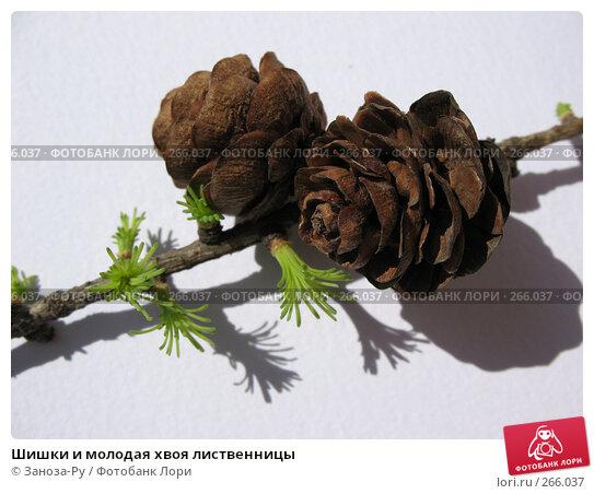 Купить «Шишки и молодая хвоя лиственницы», фото № 266037, снято 26 апреля 2008 г. (c) Заноза-Ру / Фотобанк Лори