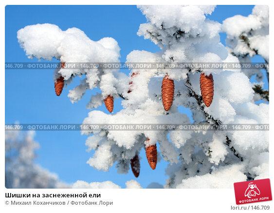 Шишки на заснеженной ели, фото № 146709, снято 26 апреля 2017 г. (c) Михаил Коханчиков / Фотобанк Лори