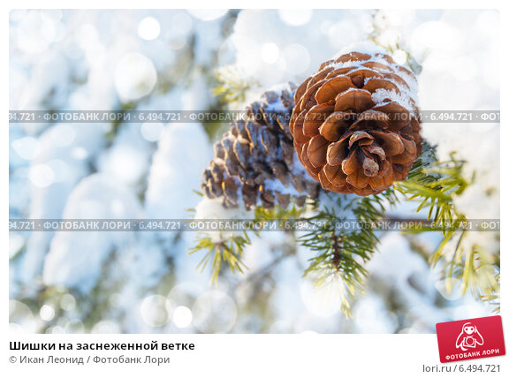 Купить «Шишки на заснеженной ветке», фото № 6494721, снято 30 января 2014 г. (c) Икан Леонид / Фотобанк Лори