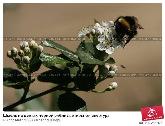 Купить «Шмель на цветах чёрной рябины, открытая апертура», фото № 236473, снято 3 июня 2007 г. (c) Алла Матвейчик / Фотобанк Лори