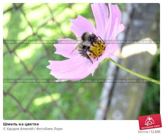 Шмель на цветке, фото № 12845, снято 4 августа 2005 г. (c) Удодов Алексей / Фотобанк Лори