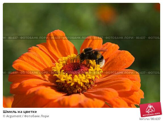 Шмель на цветке, фото № 80637, снято 24 августа 2007 г. (c) Argument / Фотобанк Лори