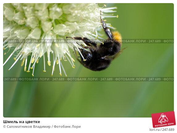 Купить «Шмель на цветке», фото № 247689, снято 24 июня 2007 г. (c) Саломатников Владимир / Фотобанк Лори