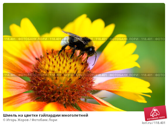 Шмель на цветке гайлардии многолетней, фото № 118401, снято 6 августа 2007 г. (c) Игорь Жоров / Фотобанк Лори