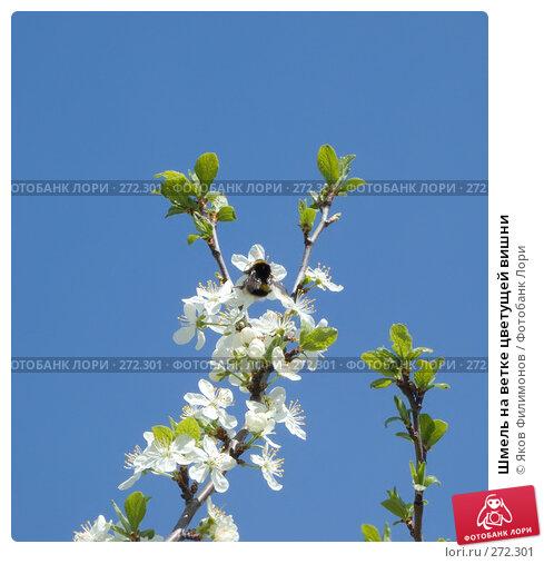 Шмель на ветке цветущей вишни, фото № 272301, снято 1 мая 2008 г. (c) Яков Филимонов / Фотобанк Лори