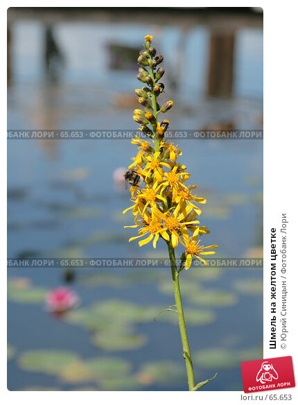 Шмель на желтом цветке, фото № 65653, снято 21 июля 2007 г. (c) Юрий Синицын / Фотобанк Лори