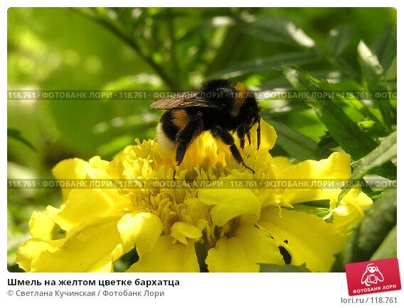 Шмель на желтом цветке бархатца, фото № 118761, снято 21 января 2017 г. (c) Светлана Кучинская / Фотобанк Лори