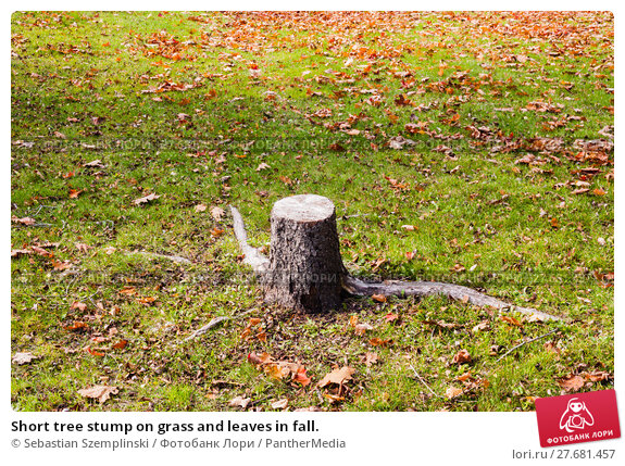 Купить «Short tree stump on grass and leaves in fall.», фото № 27681457, снято 23 февраля 2019 г. (c) PantherMedia / Фотобанк Лори