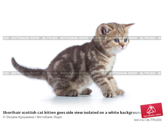 Shorthair scottish cat kitten goes side view isolated on a white background., фото № 26770033, снято 31 июля 2017 г. (c) Оксана Кузьмина / Фотобанк Лори