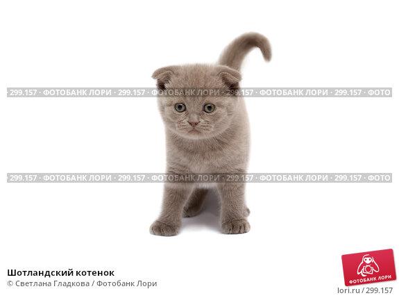 Шотландский котенок, фото № 299157, снято 12 апреля 2008 г. (c) Cветлана Гладкова / Фотобанк Лори