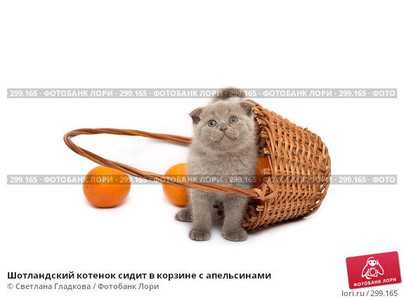 Шотландский котенок сидит в корзине с апельсинами, фото № 299165, снято 12 апреля 2008 г. (c) Cветлана Гладкова / Фотобанк Лори