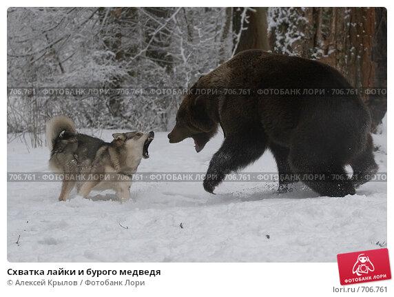 Купить «Схватка лайки и бурого медведя», фото № 706761, снято 14 февраля 2009 г. (c) Алексей Крылов / Фотобанк Лори