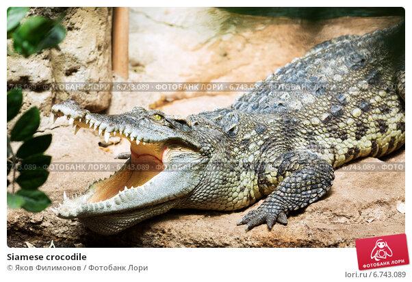 Купить «Siamese crocodile», фото № 6743089, снято 8 июня 2014 г. (c) Яков Филимонов / Фотобанк Лори