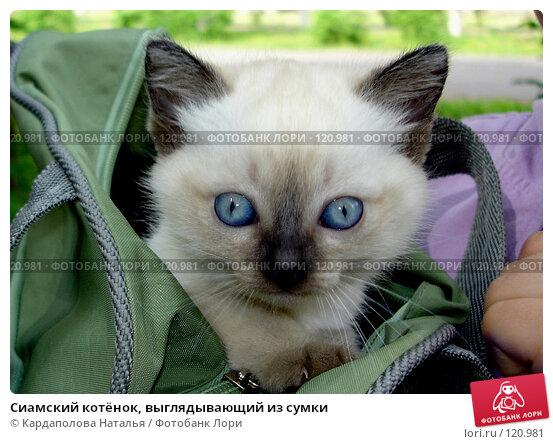Купить «Сиамский котёнок, выглядывающий из сумки», фото № 120981, снято 5 июня 2006 г. (c) Кардаполова Наталья / Фотобанк Лори