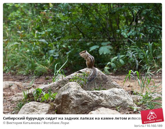 Купить «Сибирский бурундук сидит на задних лапках на камне летом и посвистывает перед дождем (Лат. Tamias sibiricus)», фото № 10160189, снято 15 августа 2015 г. (c) Виктория Катьянова / Фотобанк Лори