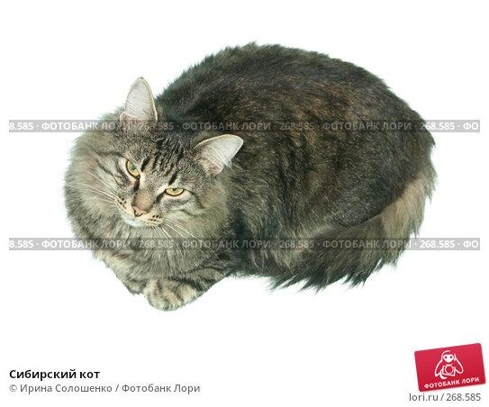 Сибирский кот, фото № 268585, снято 1 января 2005 г. (c) Ирина Солошенко / Фотобанк Лори
