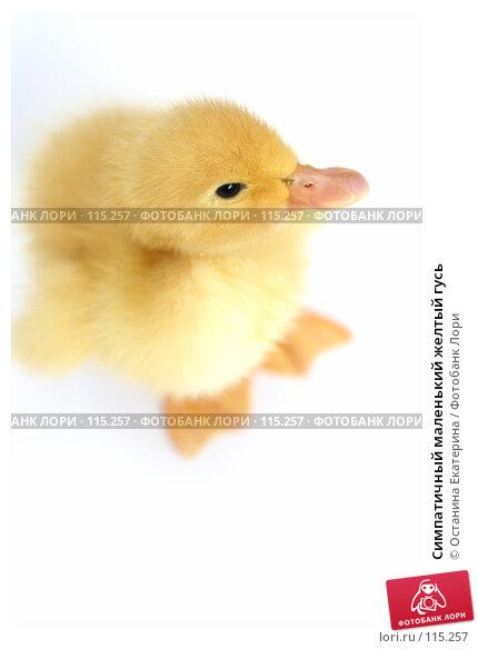 Симпатичный маленький желтый гусь, фото № 115257, снято 23 мая 2007 г. (c) Останина Екатерина / Фотобанк Лори