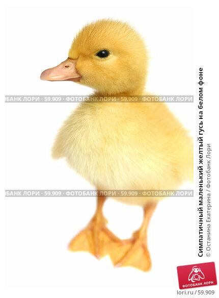 Симпатичный маленький желтый гусь на белом фоне, фото № 59909, снято 23 мая 2007 г. (c) Останина Екатерина / Фотобанк Лори