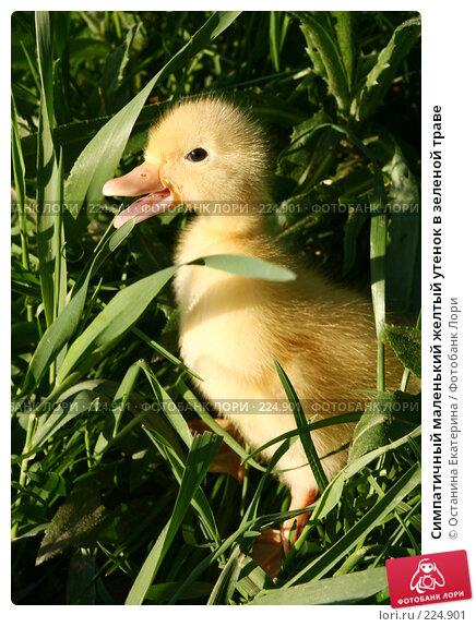 Симпатичный маленький желтый утенок в зеленой траве, фото № 224901, снято 25 мая 2007 г. (c) Останина Екатерина / Фотобанк Лори