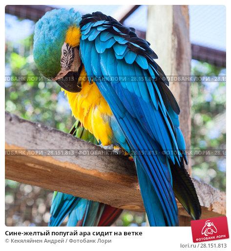 Купить «Сине-желтый попугай ара сидит на ветке», фото № 28151813, снято 2 января 2016 г. (c) Кекяляйнен Андрей / Фотобанк Лори