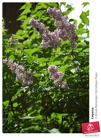 Сирень, фото № 821, снято 3 июня 2005 г. (c) Юлия Яковлева / Фотобанк Лори