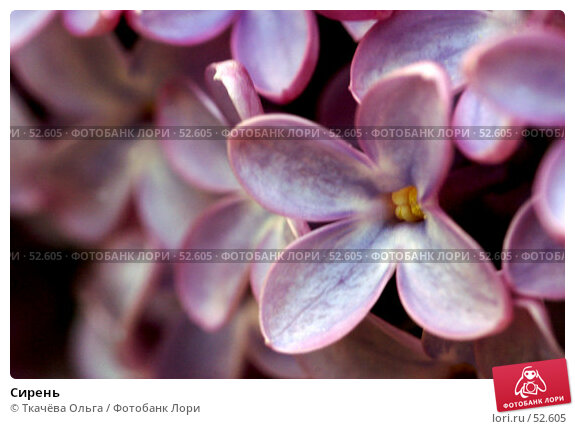 Сирень, фото № 52605, снято 19 мая 2007 г. (c) Ткачёва Ольга / Фотобанк Лори