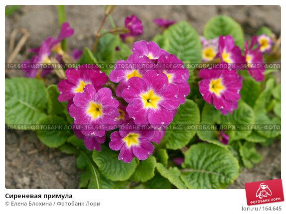 Сиреневая примула, фото № 164645, снято 27 апреля 2007 г. (c) Елена Блохина / Фотобанк Лори